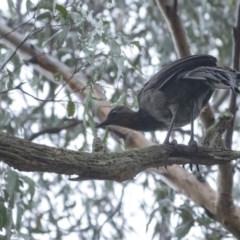 Menura novaehollandiae (Superb Lyrebird) at - 3 Mar 2020 by Aussiegall