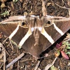 Grammodes oculicola (Smalleyed Box-Owlet) at Mulligans Flat - 5 Mar 2020 by JasonC