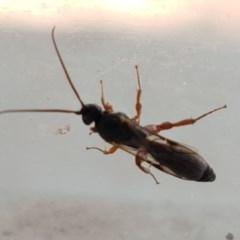 Apocrita sp. (suborder) (Unidentified wasp) at Lyneham, ACT - 6 Mar 2020 by tpreston