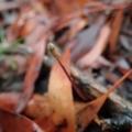 Eriochilus cucullatus at Mount Painter - 5 Mar 2020