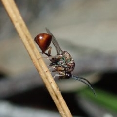 Eucharitidae (family) (Unidentified ant-parasite wasp) at Mount Painter - 1 Mar 2020 by CathB