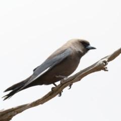 Artamus cyanopterus (Dusky Woodswallow) at Jeir, NSW - 1 Dec 2019 by jbromilow50