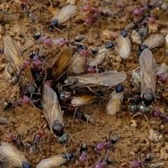 Iridomyrmex purpureus (Meat Ant) at Florey, ACT - 6 Mar 2020 by Kurt