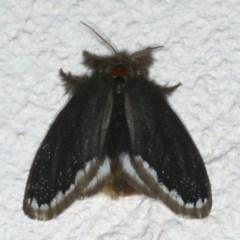 Euproctis marginalis at Ainslie, ACT - 29 Nov 2019
