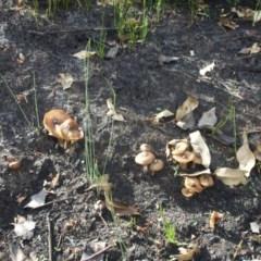 Agarics gilled fungi at Narrawallee Creek Nature Reserve - 1 Mar 2020 by Brigitte