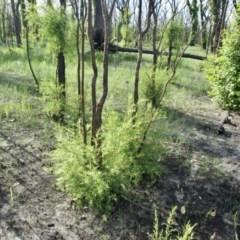 Melaleuca linariifolia (Snow-in-summer, Flax-leaved paperbark, Budjur) at Narrawallee Creek Nature Reserve - 1 Mar 2020 by Brigitte