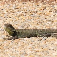 Intellagama lesueurii (Australian Water Dragon) at Molonglo Valley, ACT - 6 Mar 2020 by RodDeb