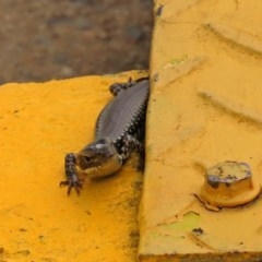 Eulamprus heatwolei (Yellow-bellied Water Skink) at Molonglo Valley, ACT - 6 Mar 2020 by RodDeb