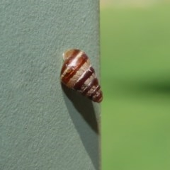 Prietocella barbara (Small Pointed Snail) at National Zoo and Aquarium - 6 Mar 2020 by RodDeb