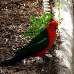 Alisterus scapularis (Australian King-Parrot) at Florey, ACT - 6 Mar 2020 by Kurt