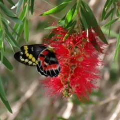 Delias harpalyce (Imperial Jezebel) at Macarthur, ACT - 6 Mar 2020 by RodDeb