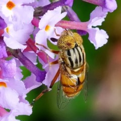 Eristalinus sp. (genus) (A Hover Fly) at Page, ACT - 6 Mar 2020 by dimageau