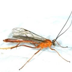 Netelia sp. (Tryphonin wasp) at Rosedale, NSW - 16 Nov 2019 by jbromilow50