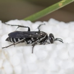 Turneromyia sp. (genus) (Zebra spider wasp) at Higgins, ACT - 7 Mar 2020 by AlisonMilton