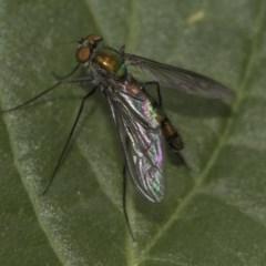Heteropsilopus sp. (genus) (A long legged fly) at Higgins, ACT - 5 Nov 2019 by AlisonMilton