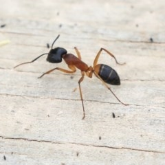 Camponotus consobrinus (Banded sugar ant) at West Belconnen Pond - 4 Nov 2019 by AlisonMilton