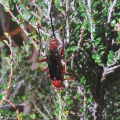 Lissopimpla excelsa (Orchid dupe wasp) at Kosciuszko National Park - 29 Feb 2020 by Harrisi