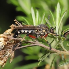 Thereutria amaraca (Spine-legged Robber Fly) at ANBG - 3 Mar 2020 by TimL