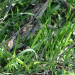 Amphibolurus muricatus (Jacky Lizard) at Pejar, NSW - 7 Mar 2020 by Christine