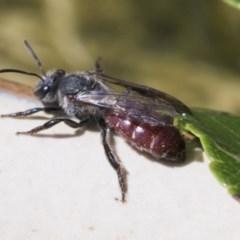 Lasioglossum (Parasphecodes) sp. (genus & subgenus) (Halictid bee) at Higgins, ACT - 7 Mar 2020 by AlisonMilton
