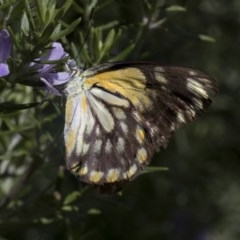 Belenois java (Caper White) at Higgins, ACT - 7 Mar 2020 by AlisonMilton