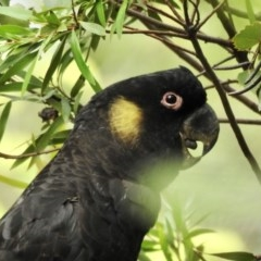 Calyptorhynchus funereus (Yellow-tailed Black-Cockatoo) at Burradoo - 8 Mar 2020 by GlossyGal