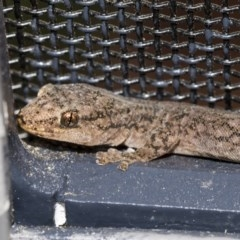 Christinus marmoratus (Southern Marbled Gecko) at Higgins, ACT - 7 Mar 2020 by Alison Milton