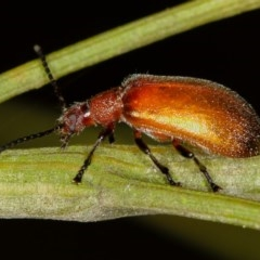 Ecnolagria grandis (Honeybrown beetle) at Bruce, ACT - 23 Nov 2011 by Bron