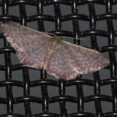 Idaea costaria (White-edged Wave) at Higgins, ACT - 8 Mar 2020 by AlisonMilton
