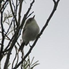 Gerygone fusca (Western Gerygone) at Jerrabomberra Wetlands - 8 Mar 2020 by RodDeb
