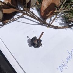 Syncarpia glomulifera subsp. glomulifera (Turpentine) at - 6 Mar 2020 by Margot