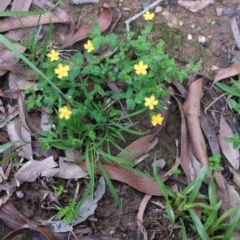 Hypericum gramineum (Small St Johns Wort) at - 8 Mar 2020 by Boobook38