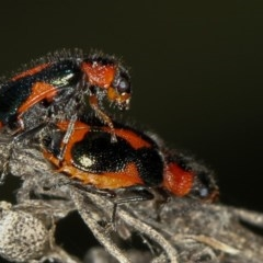Dicranolaius villosus (Melyrid flower beetle) at Bruce, ACT - 23 Nov 2011 by Bron