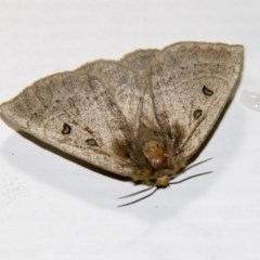 Anthela ocellata (Eyespot anthelid moth) at Higgins, ACT - 16 Feb 2020 by AlisonMilton