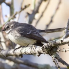 Rhipidura albiscapa (Grey Fantail) at Higgins, ACT - 17 Sep 2018 by Alison Milton