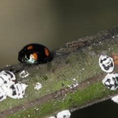 Orcus australasiae (Orange-spotted Ladybird) at Bruce, ACT - 23 Nov 2011 by Bron