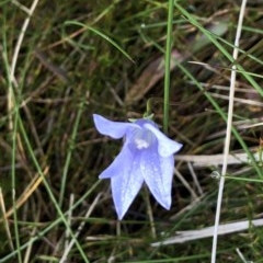 Wahlenbergia sp. (Bluebell) at Pilot Wilderness, NSW - 7 Mar 2020 by Jubeyjubes