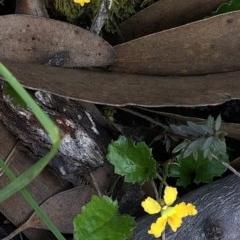 Goodenia hederacea subsp. alpestris at Kosciuszko National Park - 7 Mar 2020 by Jubeyjubes