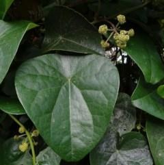 Calyptra minuticornis at Brogo, NSW - 8 Mar 2020