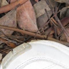 Saproscincus mustelinus at Tallaganda State Forest - 9 Mar 2020