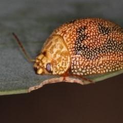 Paropsis atomaria (TBC) at Bruce, ACT - 23 Nov 2011 by Bron