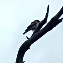 Lalage tricolor (White-winged Triller) at Red Hill Nature Reserve - 7 Mar 2020 by Ct1000