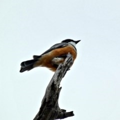 Pachycephala rufiventris (Rufous Whistler) at Red Hill Nature Reserve - 7 Mar 2020 by Ct1000