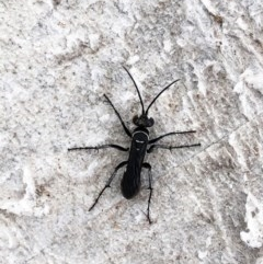 Pompilidae sp. (family) (Unidentified Spider wasp) at Hughes Garran Woodland - 8 Mar 2020 by ruthkerruish