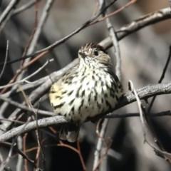 Pyrrholaemus sagittatus (Speckled Warbler) at Majura, ACT - 9 Mar 2020 by jbromilow50