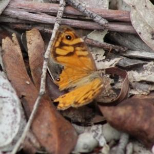 Geitoneura acantha at Mongarlowe River - 8 Mar 2020