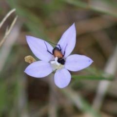 Phyllotocus navicularis (Nectar scarab) at Hughes Grassy Woodland - 7 Mar 2020 by LisaH