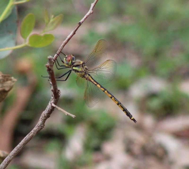 Hemicordulia tau at Red Hill Nature Reserve - 6 Mar 2020