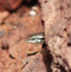 Morethia boulengeri (Boulenger's Skink) at Red Hill Nature Reserve - 5 Mar 2020 by LisaH