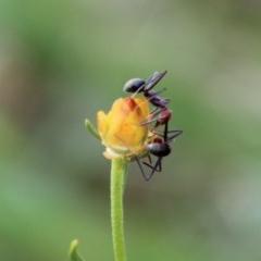 Iridomyrmex purpureus (Meat Ant) at Hughes Grassy Woodland - 7 Mar 2020 by LisaH
